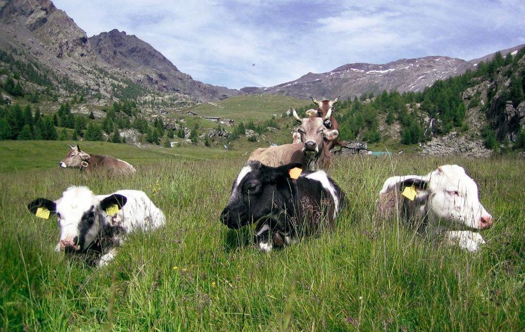 Valmalenco, mucche al pascolo