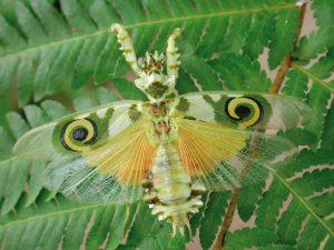 Esapolis mantide fiore ali aperte