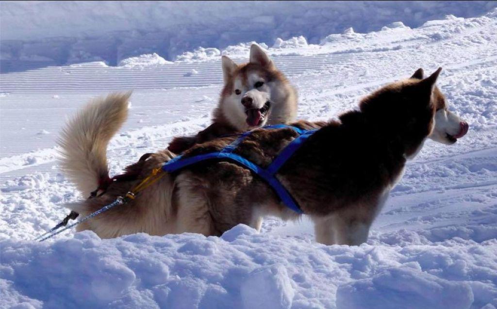 cani sleddog