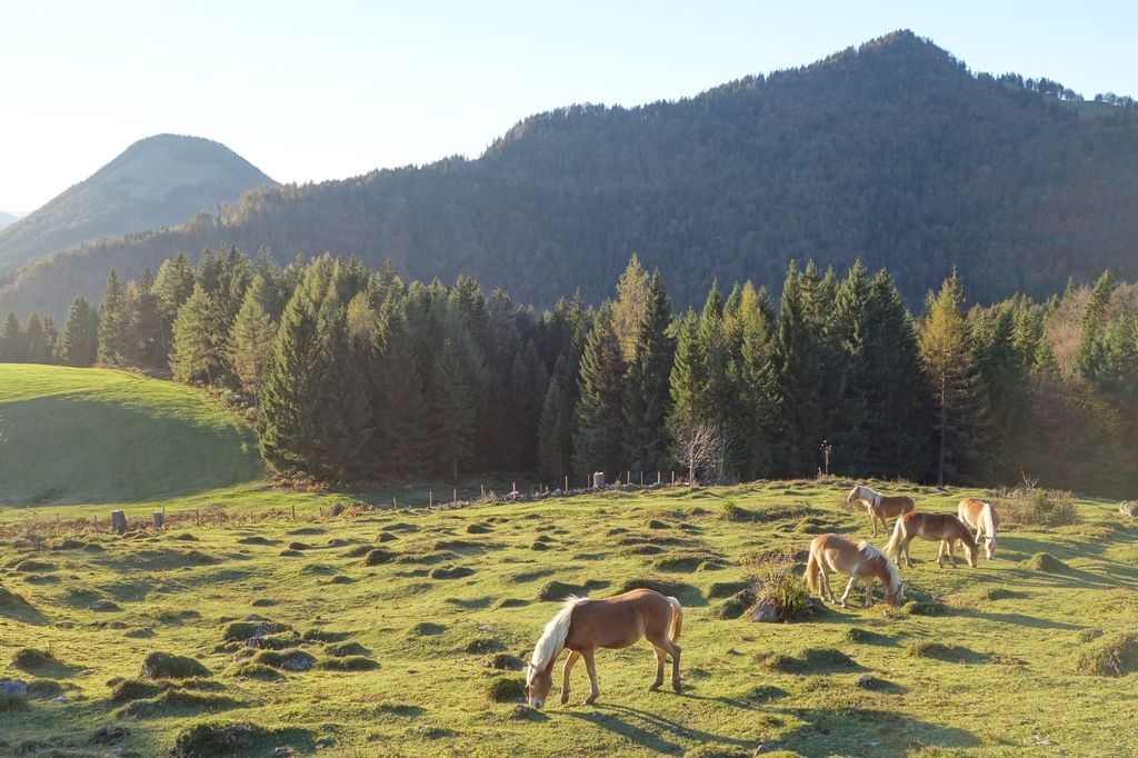 Cavalli avelignesi a Ebbs