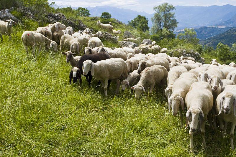 le pecore d'abruzzo
