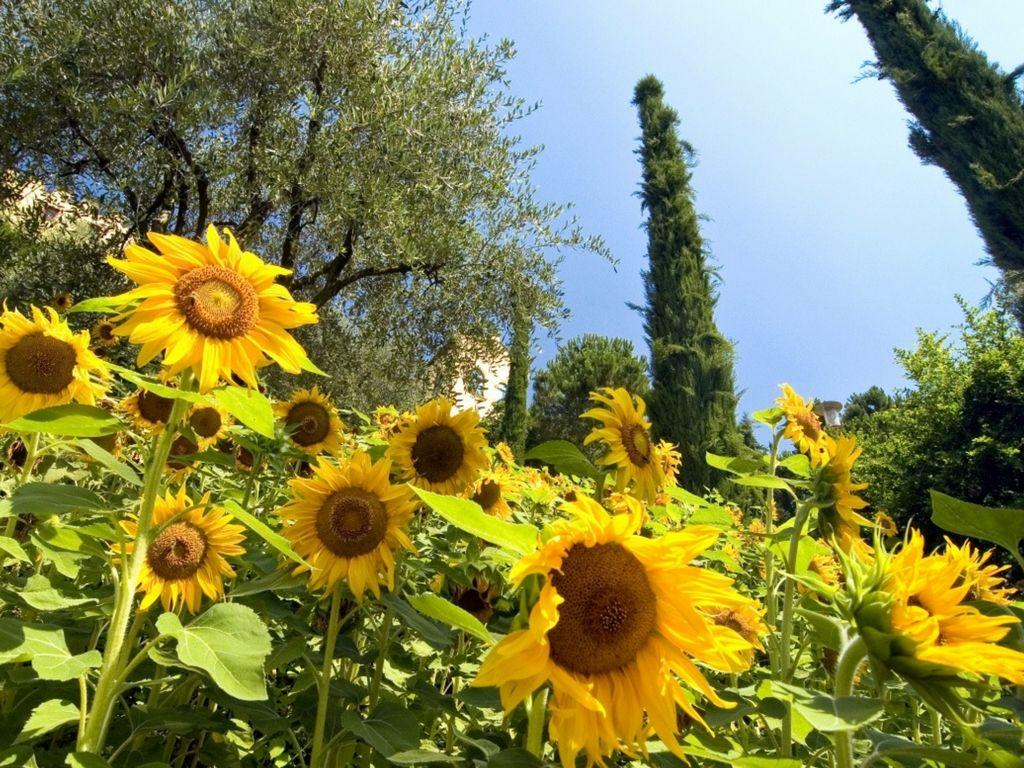Giardini di Sissi girasoli