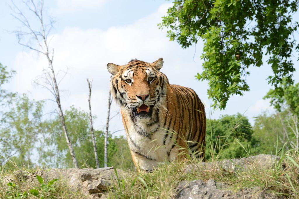 Safari Park di Pombia tigre siberiana