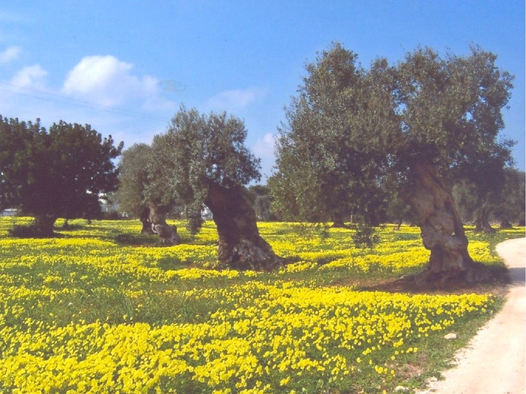 camminate tra gli ulivi