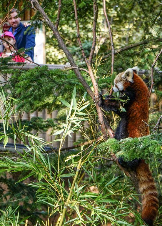 Parco Natura Viva - Faunistico panda rosso