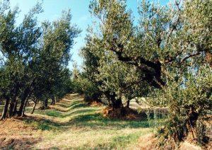 prima giornata nazionale Camminata tra gli Olivi