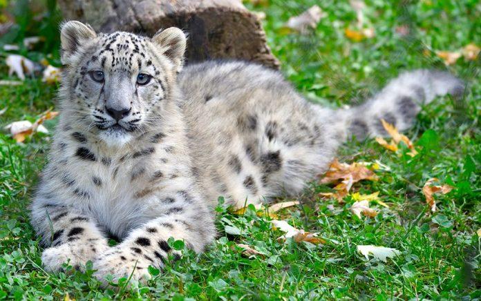 Le Cornelle leopardo delle nevi