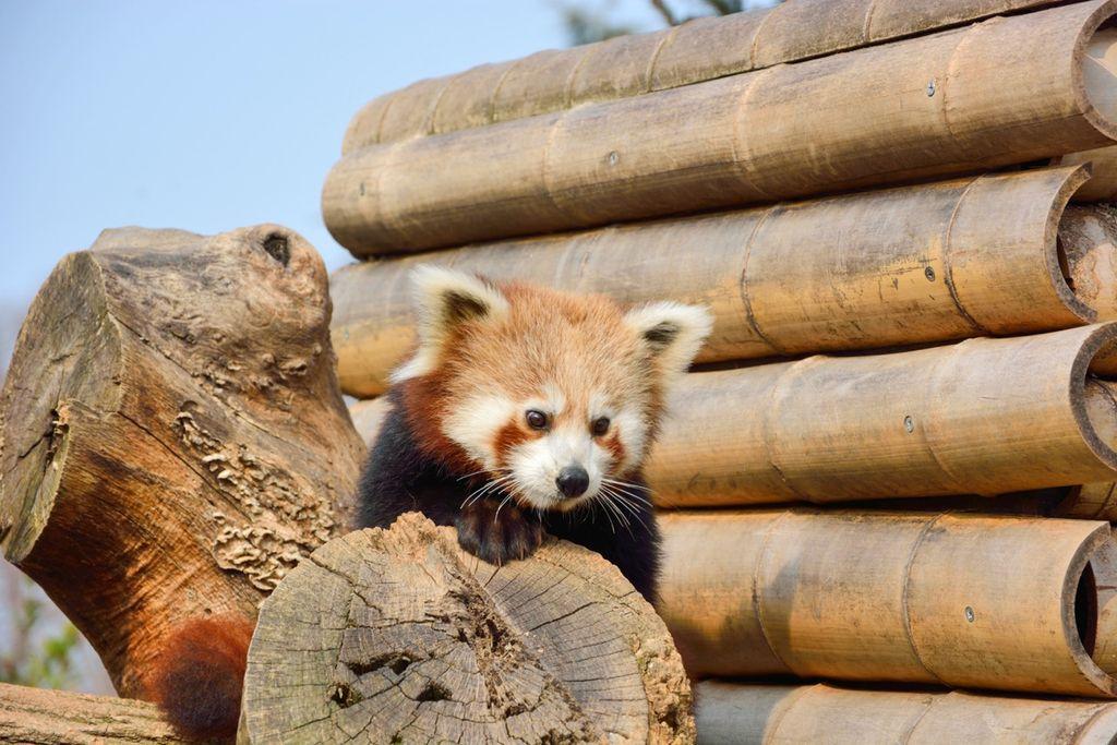 Le Cornelle panda minore