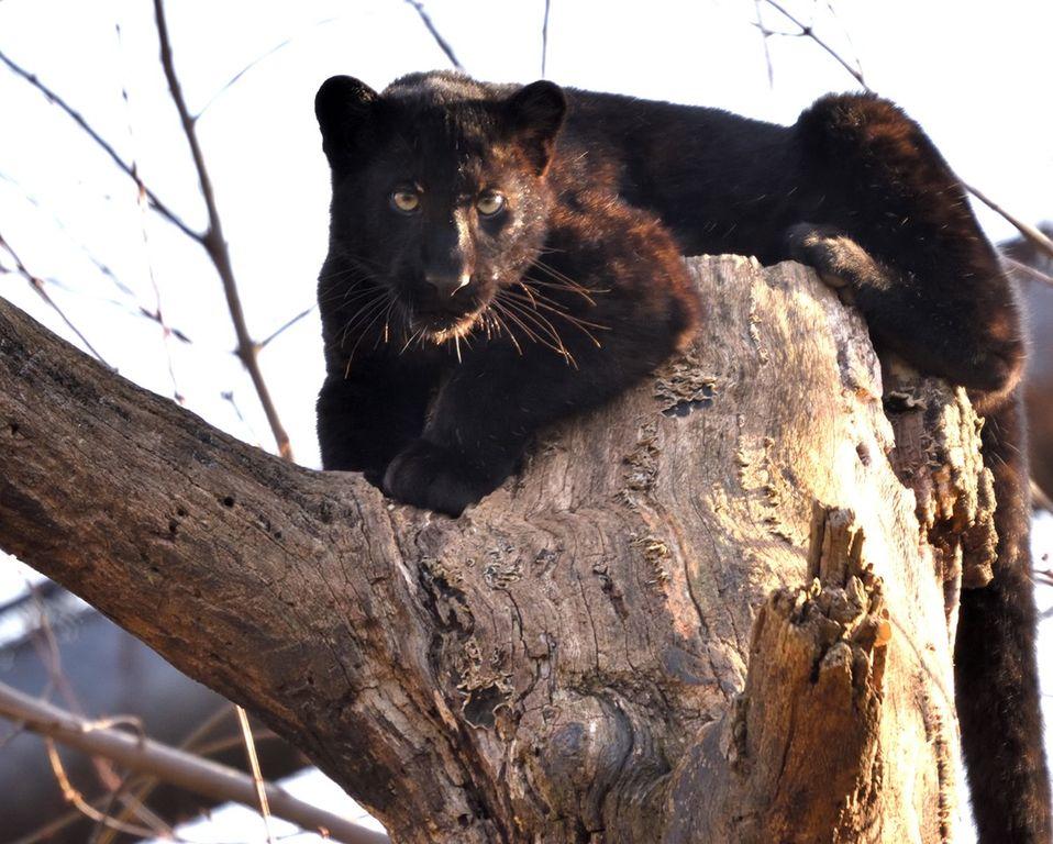 Le Cornelle pantera nera